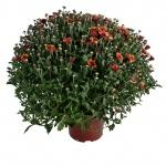 Chrysanthemum multiflora